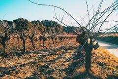 Close-up of trunk of a vineyard stock photos