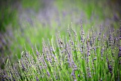 Lavender flowers growing on field. A close up of a tuft of lavender plants blossoming on a field Royalty Free Stock Images