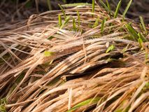 Close up of tuft of yellow grass on floor outside texture. Essex; england; uk Stock Images