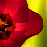 Close-Up Tulip. Tulip close-up. Green background. Tight Cropping Royalty Free Stock Images
