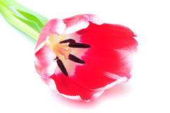 Close up tulip Stock Photos