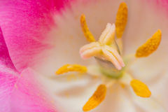 Close-up Tulip of anthers with pollen grains of pink Tulip. Close-up Tulip macro of anthers with pollen grains of pink Tulip flower Royalty Free Stock Photo