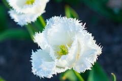 Close-up of tulip. Stock Photography