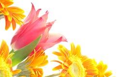Close up of tulip and daisy Stock Photo