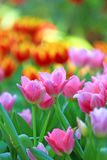 Close-up of tulip flower. In garden Royalty Free Stock Images