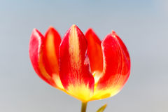 Close up of tulip flower. Royalty Free Stock Photos