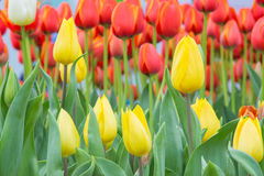 Close up of tulip flower garden Stock Photography
