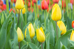 Close up of tulip flower garden Royalty Free Stock Image