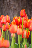 Close up of tulip flower garden selected focus Royalty Free Stock Photos