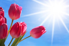 Close Up Of Tulip Flower Meadow With Sunny Blue Sky Stock Images