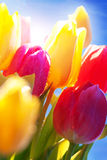Close Up Of Tulip Flower Meadow Water drop In front Of Sunny Blue Sky. Bunch Or Bouquet Of Tulip Flowers Or Flower Meadow With Sunny Bokeh Effect And Water drops Royalty Free Stock Images