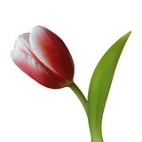 Close up of Tulip flower on white background Stock Images