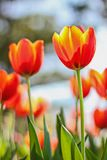 Close up of Tulip flowers shooting from a low angle in spring royalty free stock photography