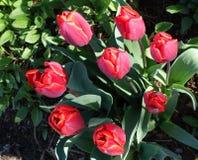 Close-up Tulip Flowers vermelha a beleza em minha natureza Imagem de Stock