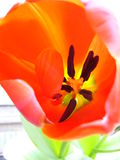 Close-up Tulip Outside Royalty Free Stock Photo