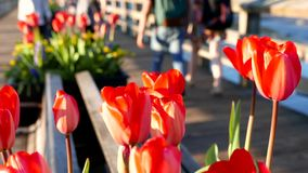 Close up tulip with people walk on the bridge at Rocky point park. In Port Moody stock footage