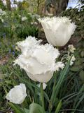 Close up of Tulip swan wings Stock Images