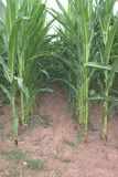 Close up of the tunnel between parallel rows of corn maize, Zea mays. Close up of the tunnel between parallel rows of nearly fully grown and still green corn Stock Photo