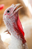 Close-up of a turkey. In a barn Stock Photos