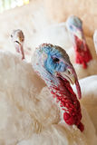 Close-up of a turkey. In a barn Stock Image