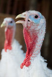 Close-up of a turkey. In the farm Stock Photography