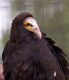 Close-up of a turkey vulture Stock Image