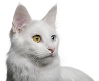 Close up of a Turkish Angora (18 months old) Stock Photos