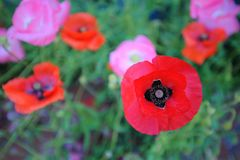 A field of Turkish poppies and wildflowers. stock photo