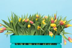 Close up of turquoise wooden box with yellow tulips on blue background royalty free stock photos