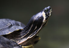Close-up turtle Royalty Free Stock Photo