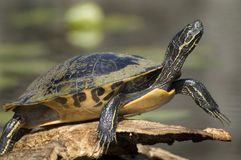 Close-up of Turtle Royalty Free Stock Photo