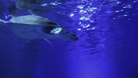 Close-up of a Turtle and fish float in the water stock footage