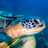 Close up of a turtle with 2 remora. Head of a Hawksbill Turtle and 2 Remora royalty free stock photography