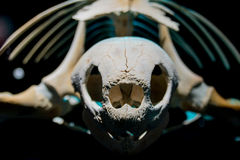 Close up of turtle skeleton Stock Photo