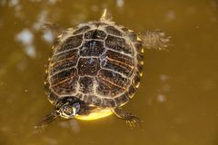 Close Up Turtle Swimming In The Lake Stock Photography
