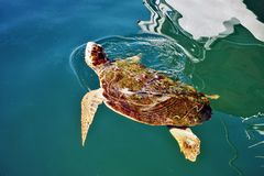A Close up of a turtle swimming in the mediterranean sea stock photography