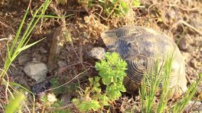 Close-up turtle video. In nature in Izmir from Turkey at sunset time stock video