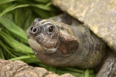 Close up of a turtles face Royalty Free Stock Photo