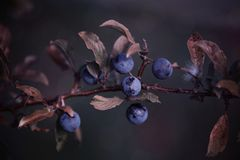 Close Up Of Twig With Berries stock photo