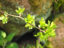 Close up of a twig of the common hawthorn with budding bright green spring leaves busting out from the branches Royalty Free Stock Photo