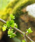 Close up of a twig of the common hawthorn with budding bright green spring leaves budding from twigs Stock Photography