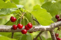Close up of a twig with fresh juicy cherries. Shallow depth of focus. Concept farming stock photos