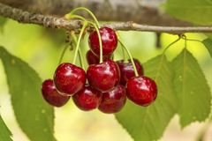 Close up of a twig with fresh juicy cherries. Shallow depth of focus. Concept farming.  royalty free stock photography