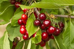 Close up of a twig with fresh juicy cherries. Shallow depth of focus. Concept farming stock images