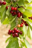 Close up of a twig with fresh juicy cherries. Shallow depth of focus. Concept farming stock photo