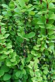 A close-up of the twigs and berries of the Caucasian barberry Be. Rberis thunberg a green form growing in the summer in the foothills of the Caucasus, Nalchik royalty free stock image