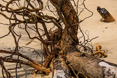Close-up of twisted twigs buried in the sand of Paraty Mirim. royalty free stock image
