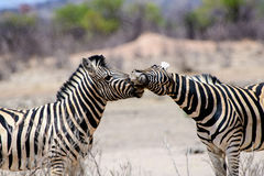 Close up of two affectionate Zebra Royalty Free Stock Photography