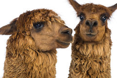 Close-up of Two Alpacas Stock Photography