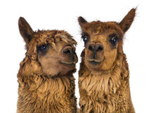 Close-up of two Alpacas, one is looking away and one is looking at camera Royalty Free Stock Images